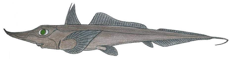 Image of Dwarf Sicklefin Chimaera