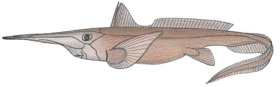 Image of Broadnose Chimaera