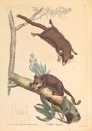 Image of feathertail gliders and pygmy gliders
