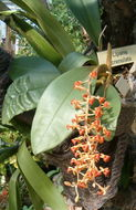 Image of <i>Liparis crenulata</i> (Blume) Lindl.