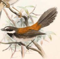 Image of Arafura Fantail