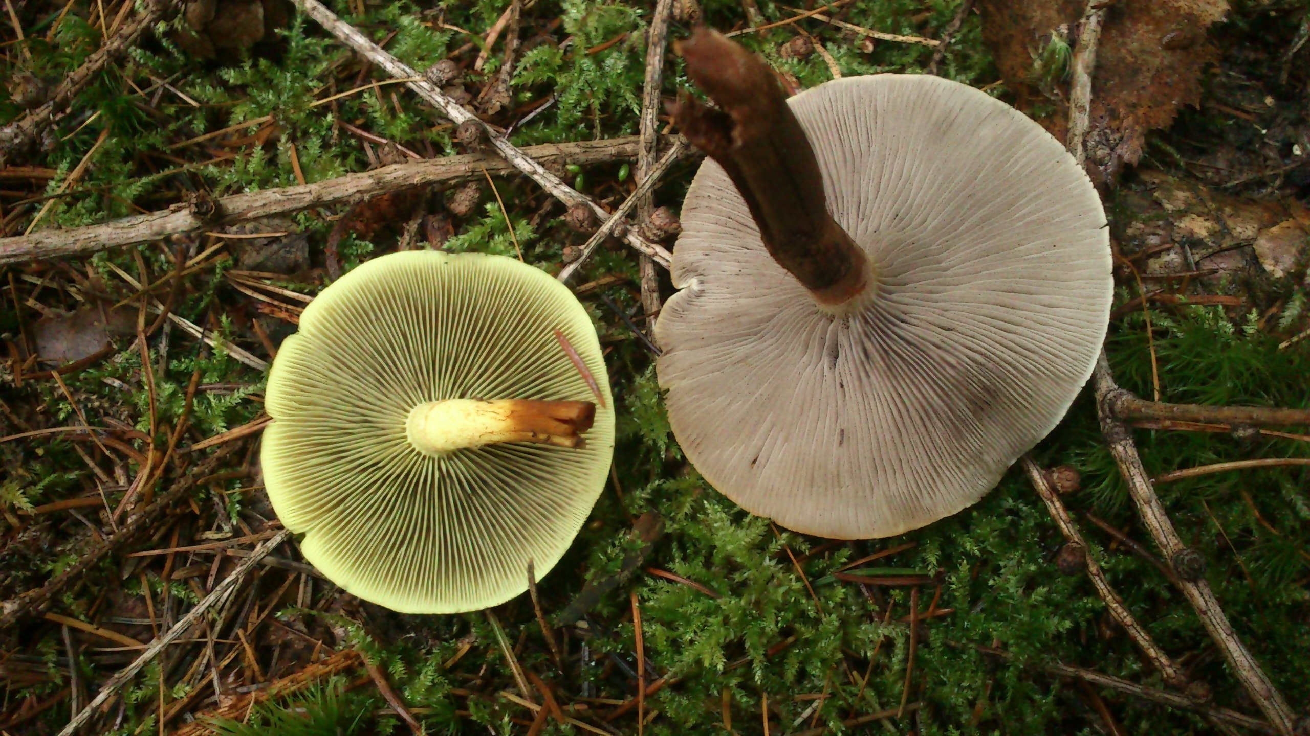 Image of <i>Hypholoma capnoides</i> (Fr.) P. Kumm. 1871