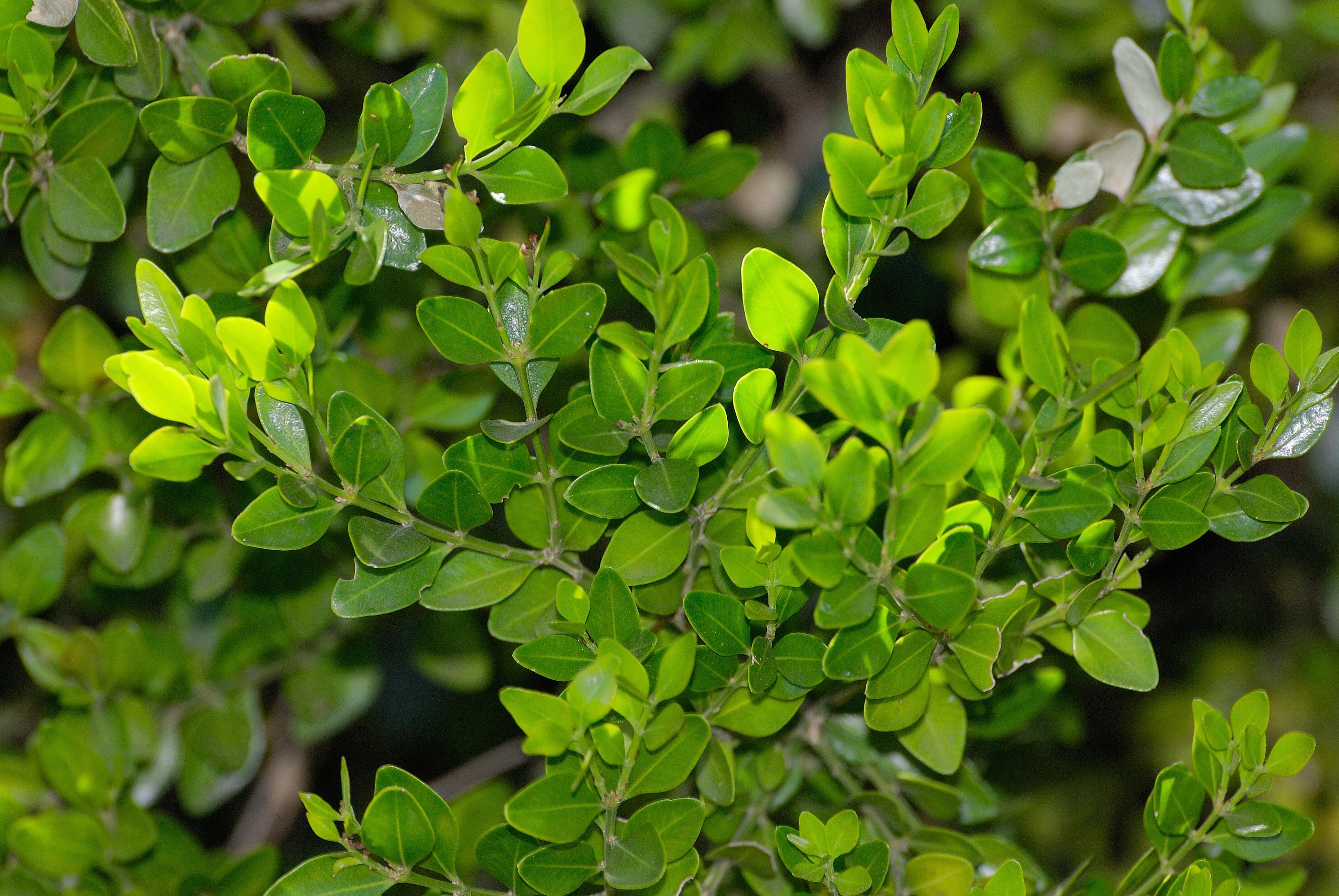 Image of <i>Buxus macowanii</i> Oliver
