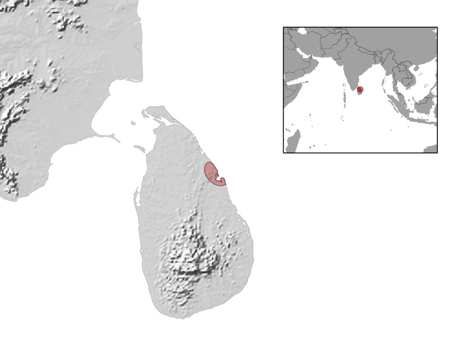 Image of Sri Lankan Supple Skink
