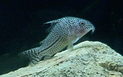 Image of False Julii Corydoras