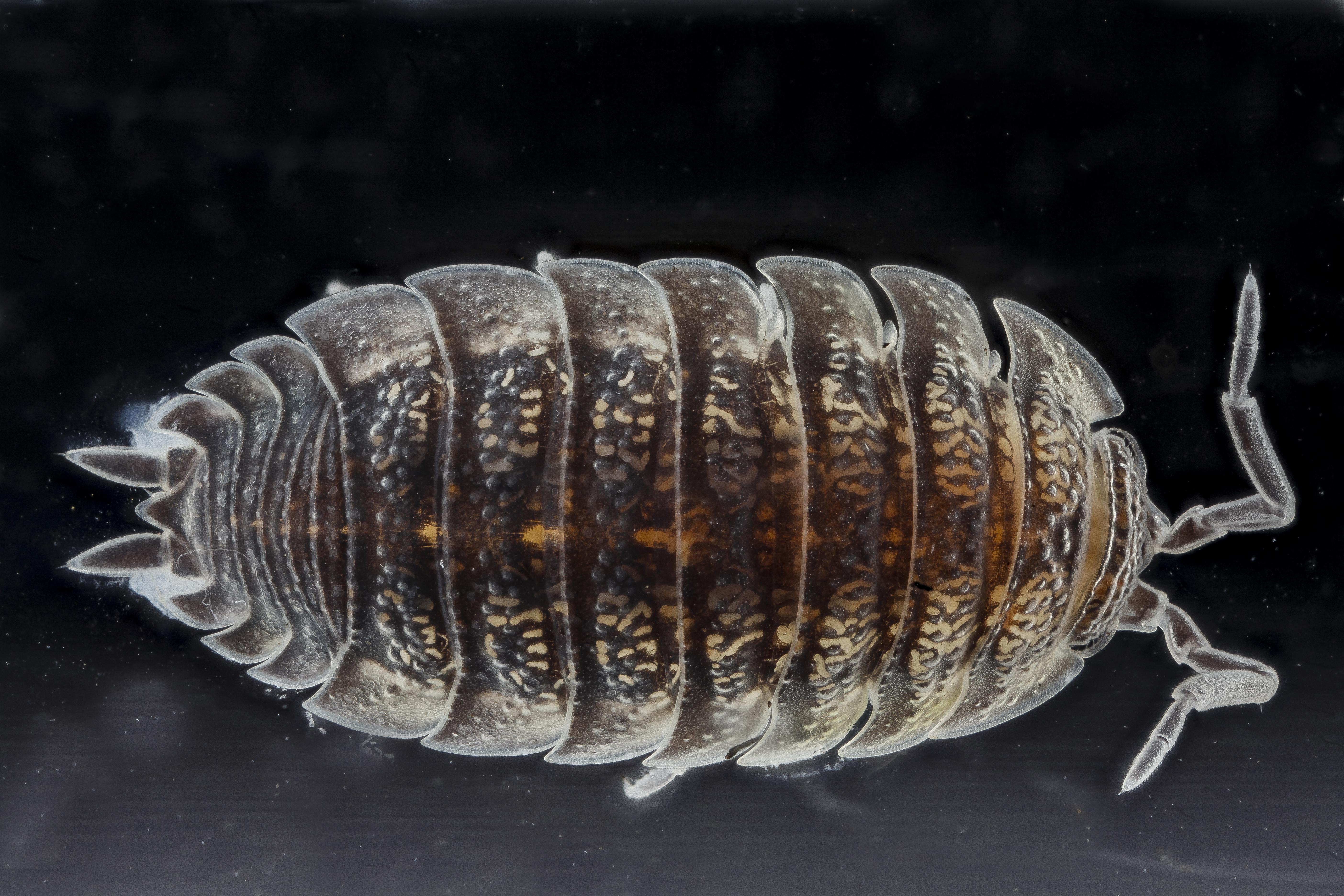 Image of Isopod