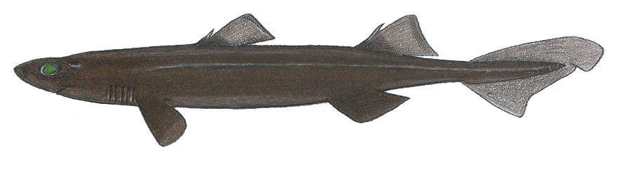Image of Black Dogfish