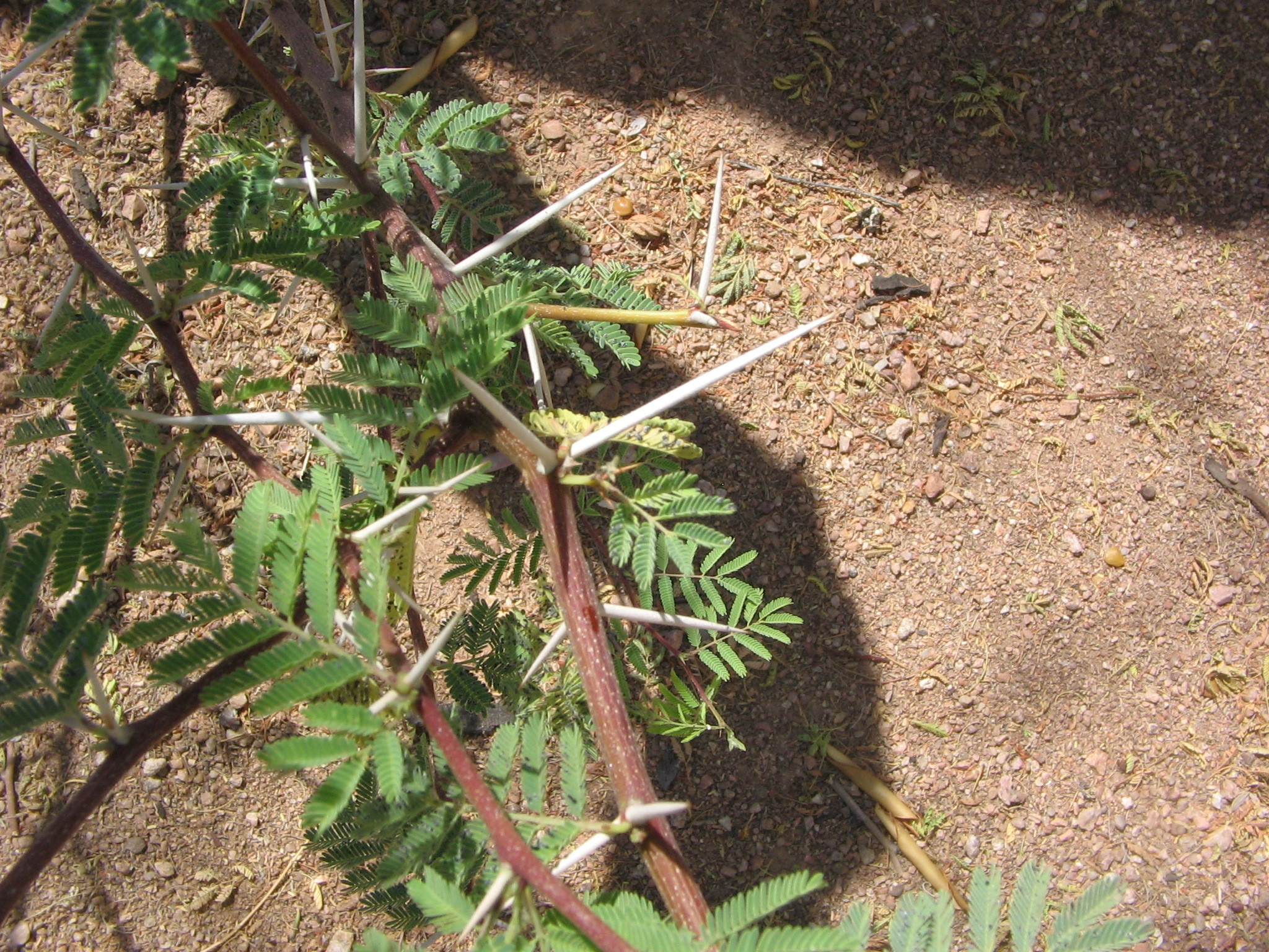 Image of sweet acacia