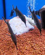 Image of Elephant Fish