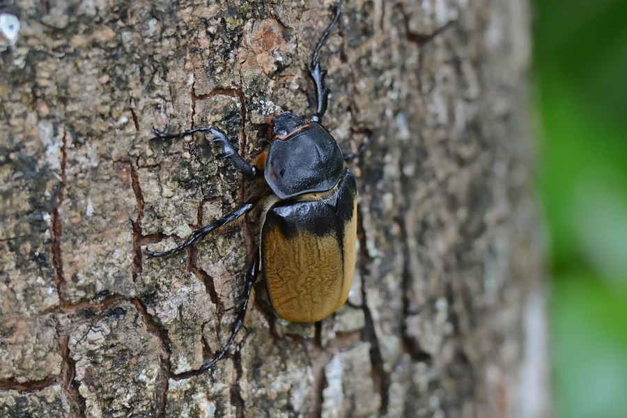 Image of Elephant beetle