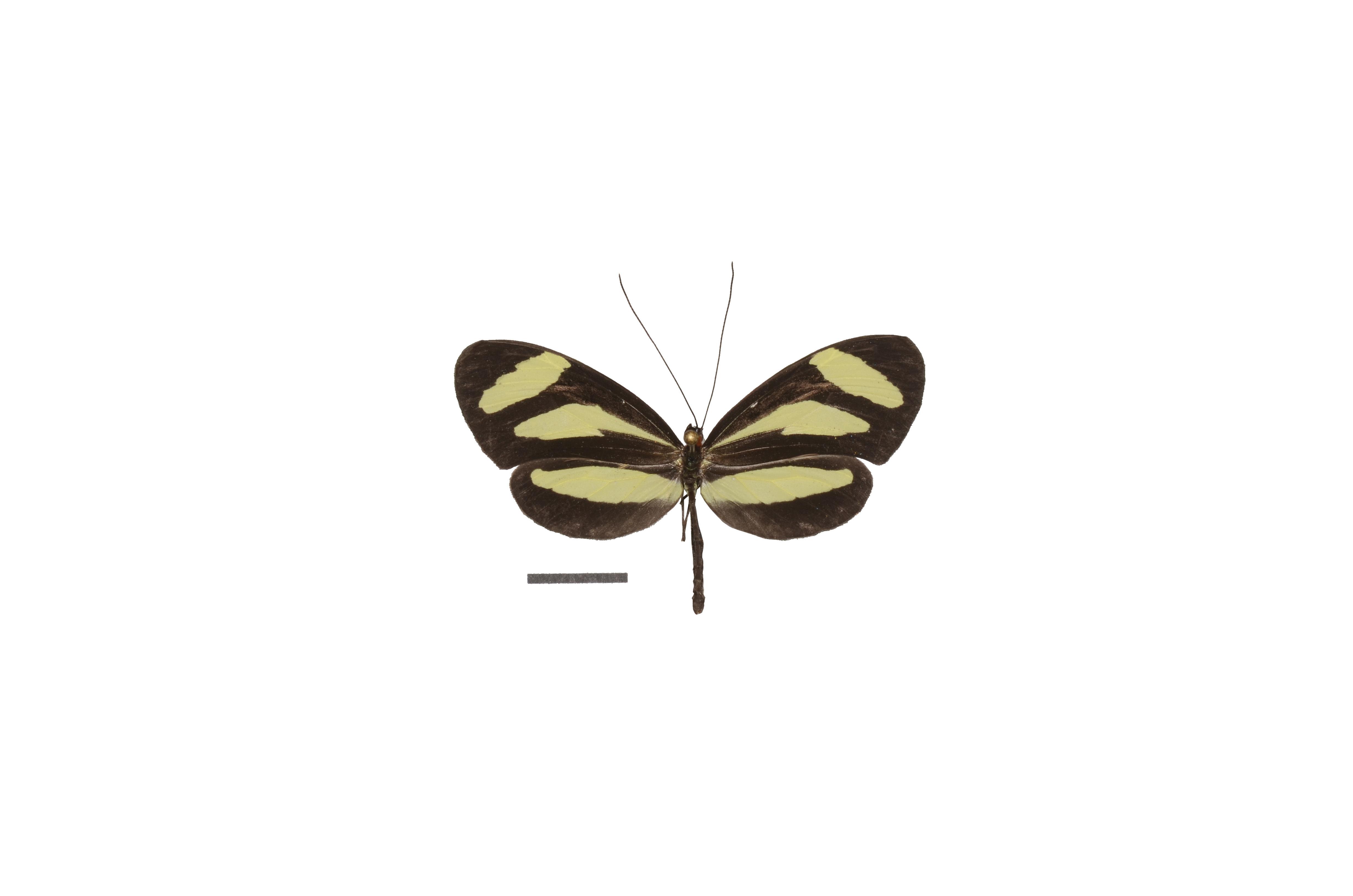 Image of <i>Aeria eurimedia</i> Cramer 1779