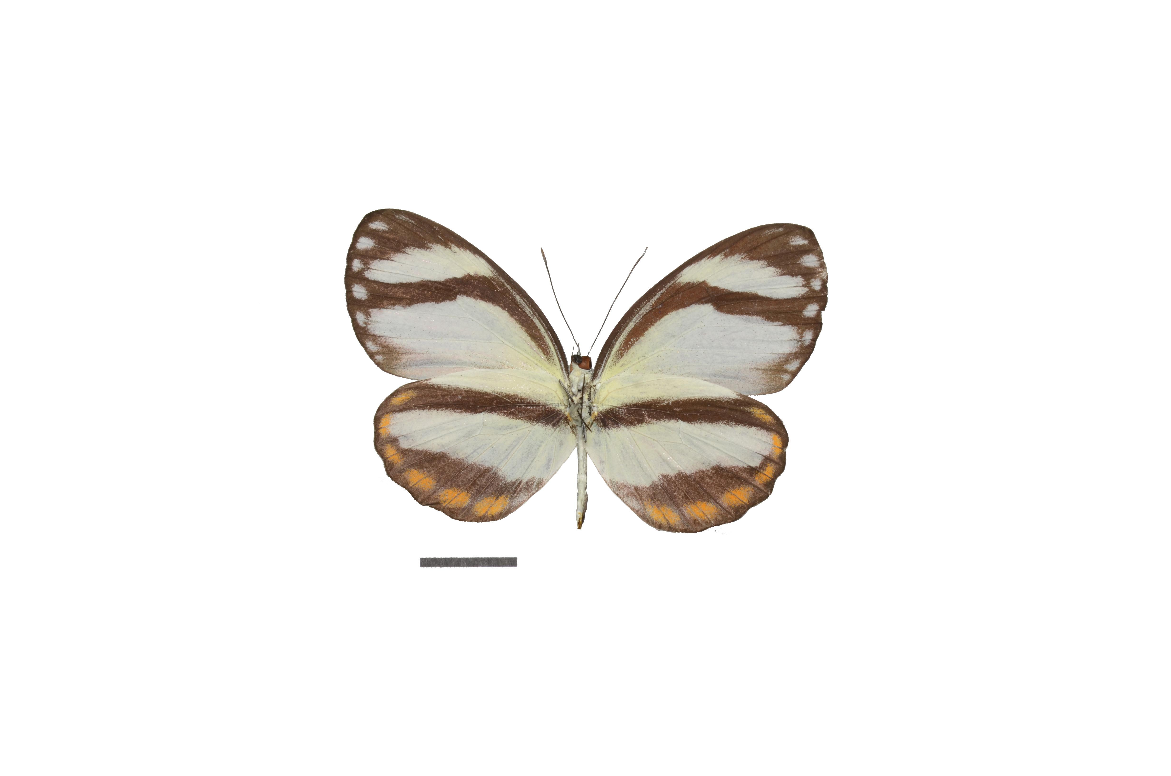 Image of <i>Itaballia pandosia</i> (Hewitson 1853)