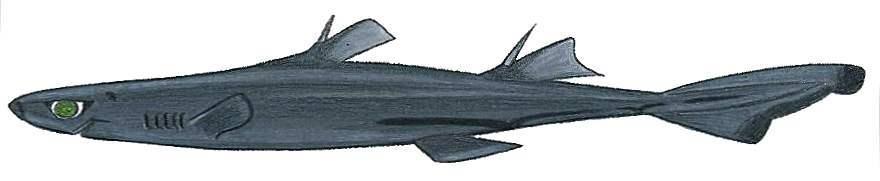 Image of <i>Etmopterus polli</i> Bigelow, Schroeder & Springer 1953