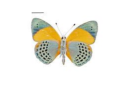 Image of Asterope markii