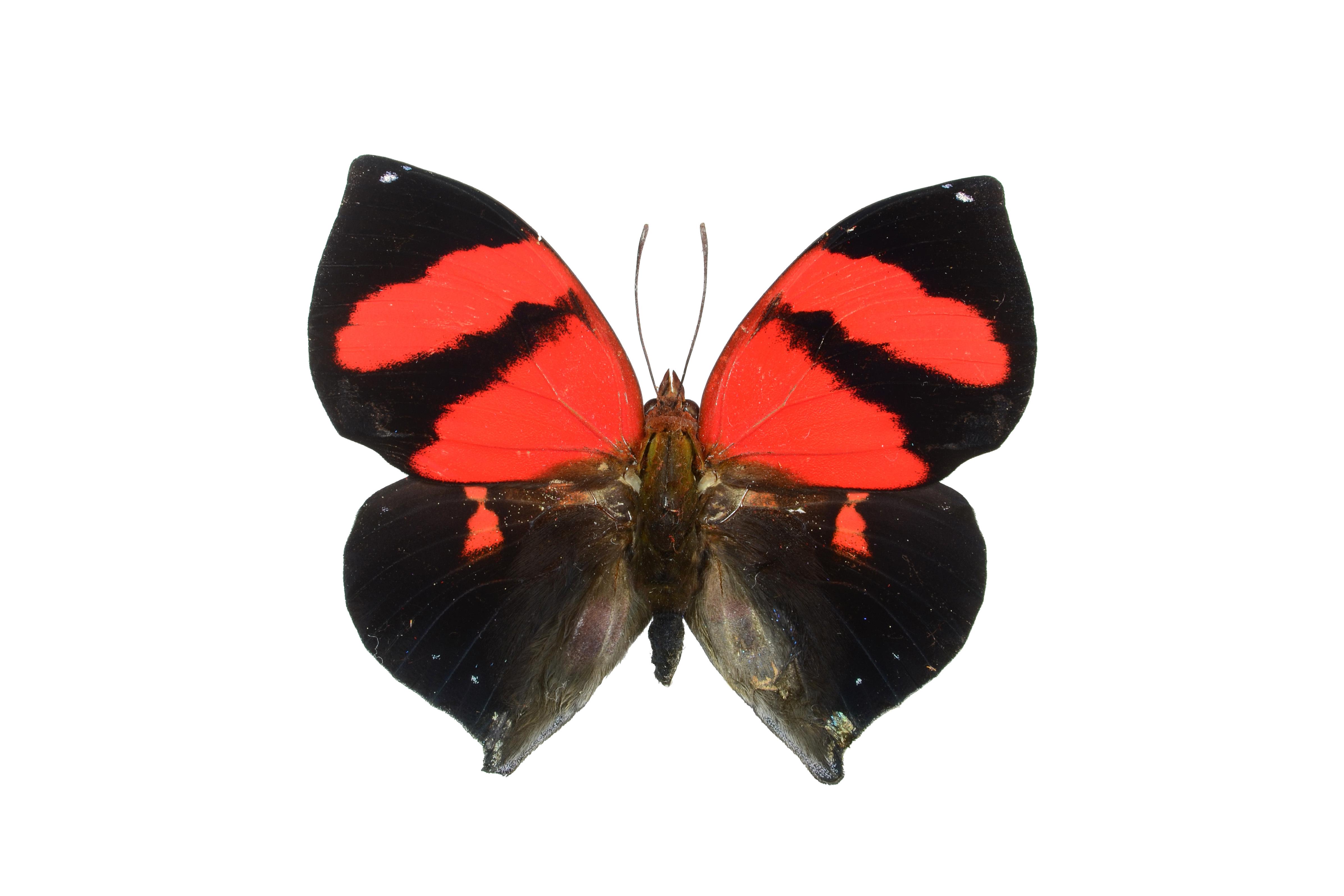 Image of <i>Siderone galanthis</i>