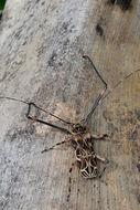 Image of Harlequin Beetle