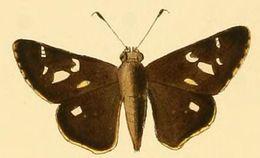 Image of <i>Vacerra bonfilius</i> Latreille 1824