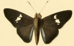 Image of <i>Neoxeniades cincia</i> Hewitson 1867