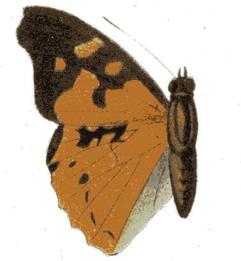 Image of <i>Apaturopsis kilusa</i> Grose-Smith 1891