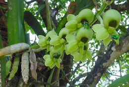 Image of Large-fruited Catasetum