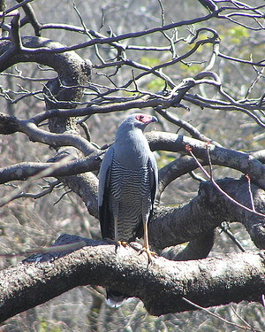 Image of Madagascar harrier hawk