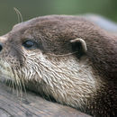 Image of common otter