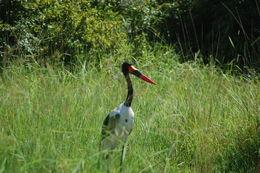 Image of Saddle-billed Stork
