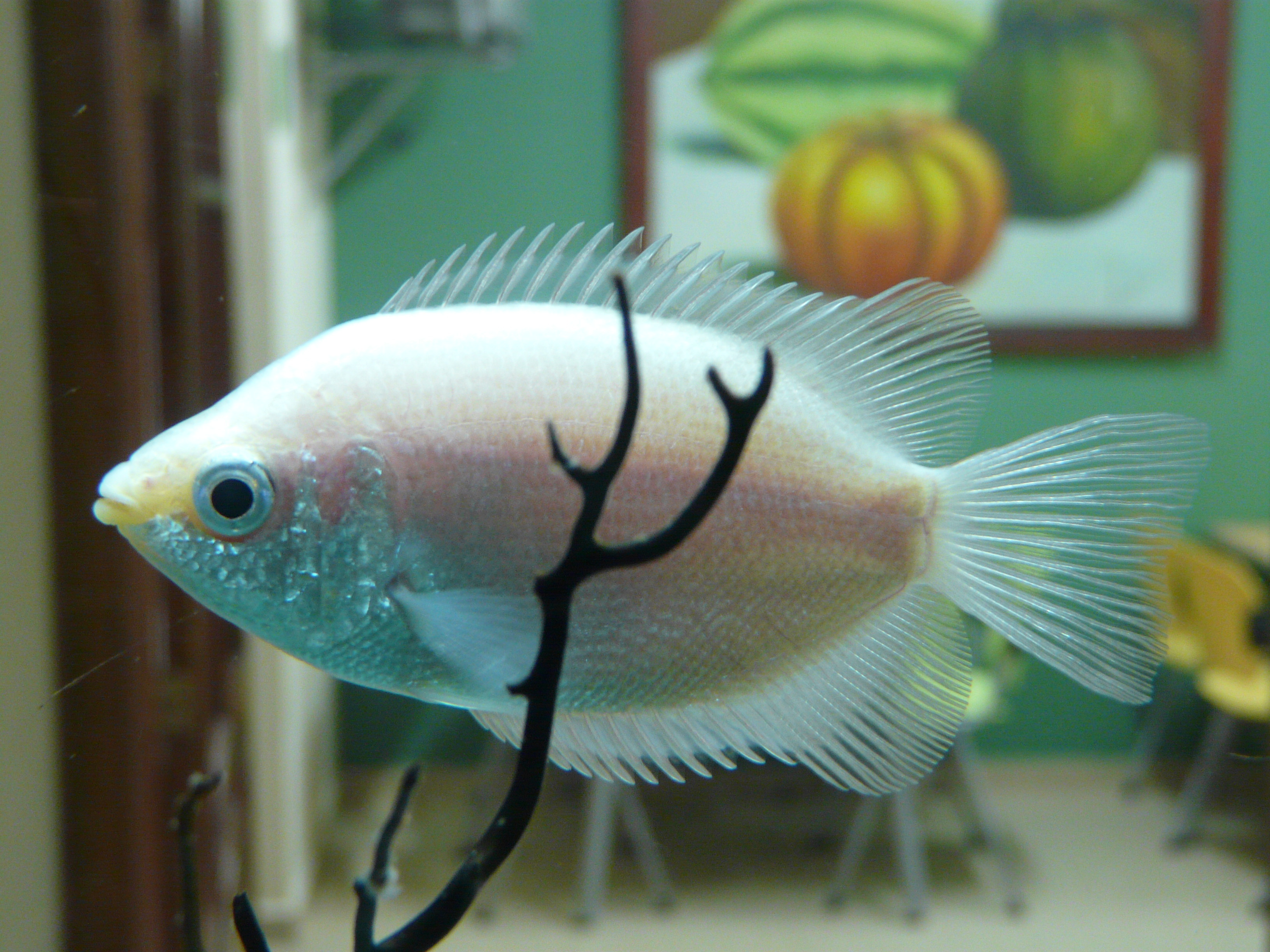Image of Kissing Gourami