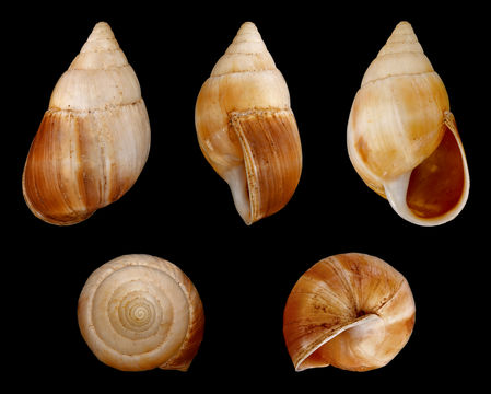 Image of <i>Leucotaenius favanii</i>
