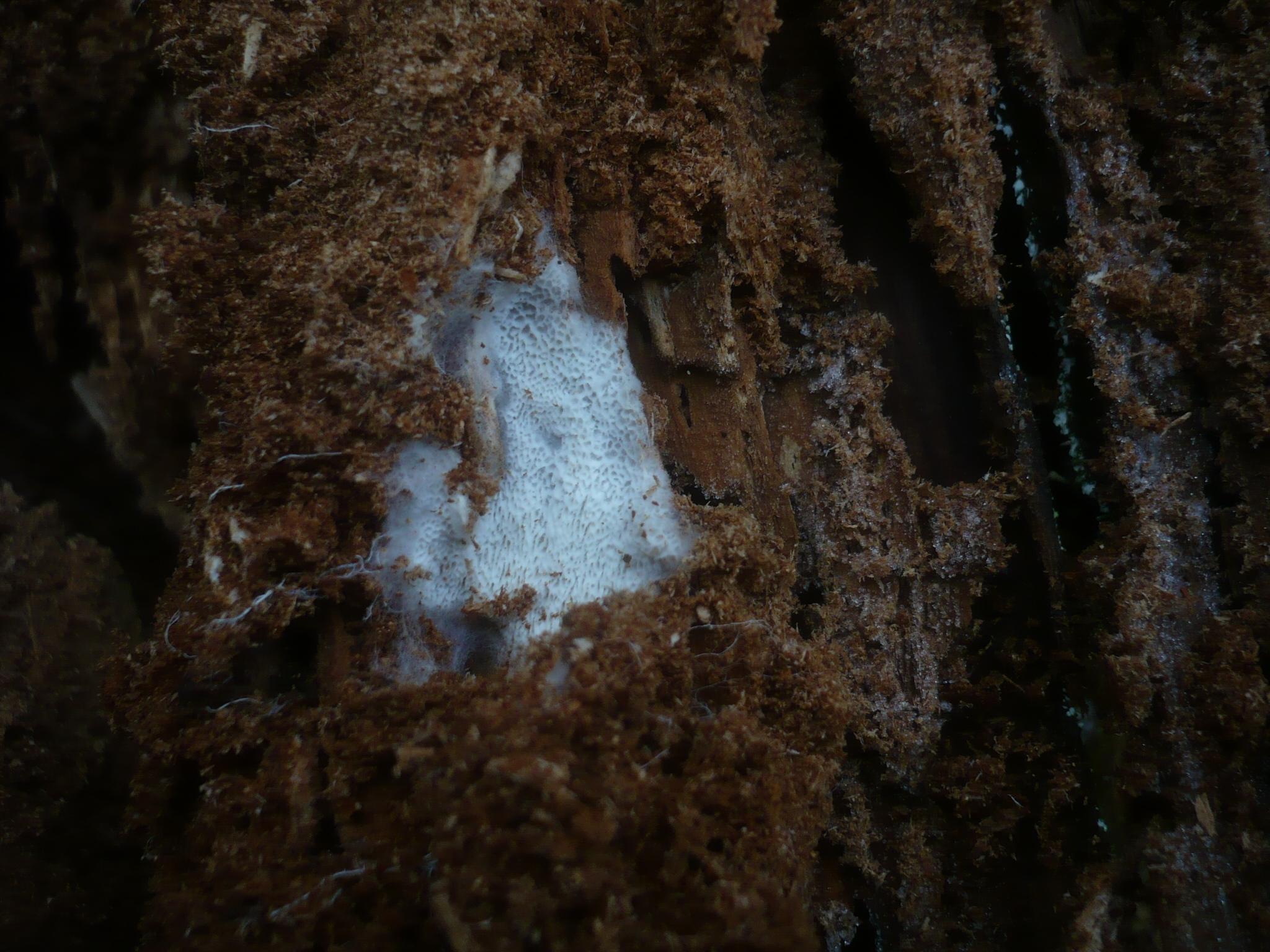 Image of <i>Byssoporia terrestris</i> (DC.) M. J. Larsen & Zak 1978