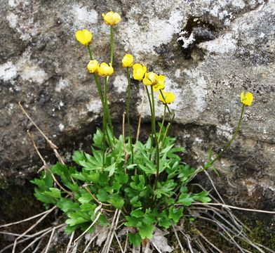 Image of surefoot buttercup