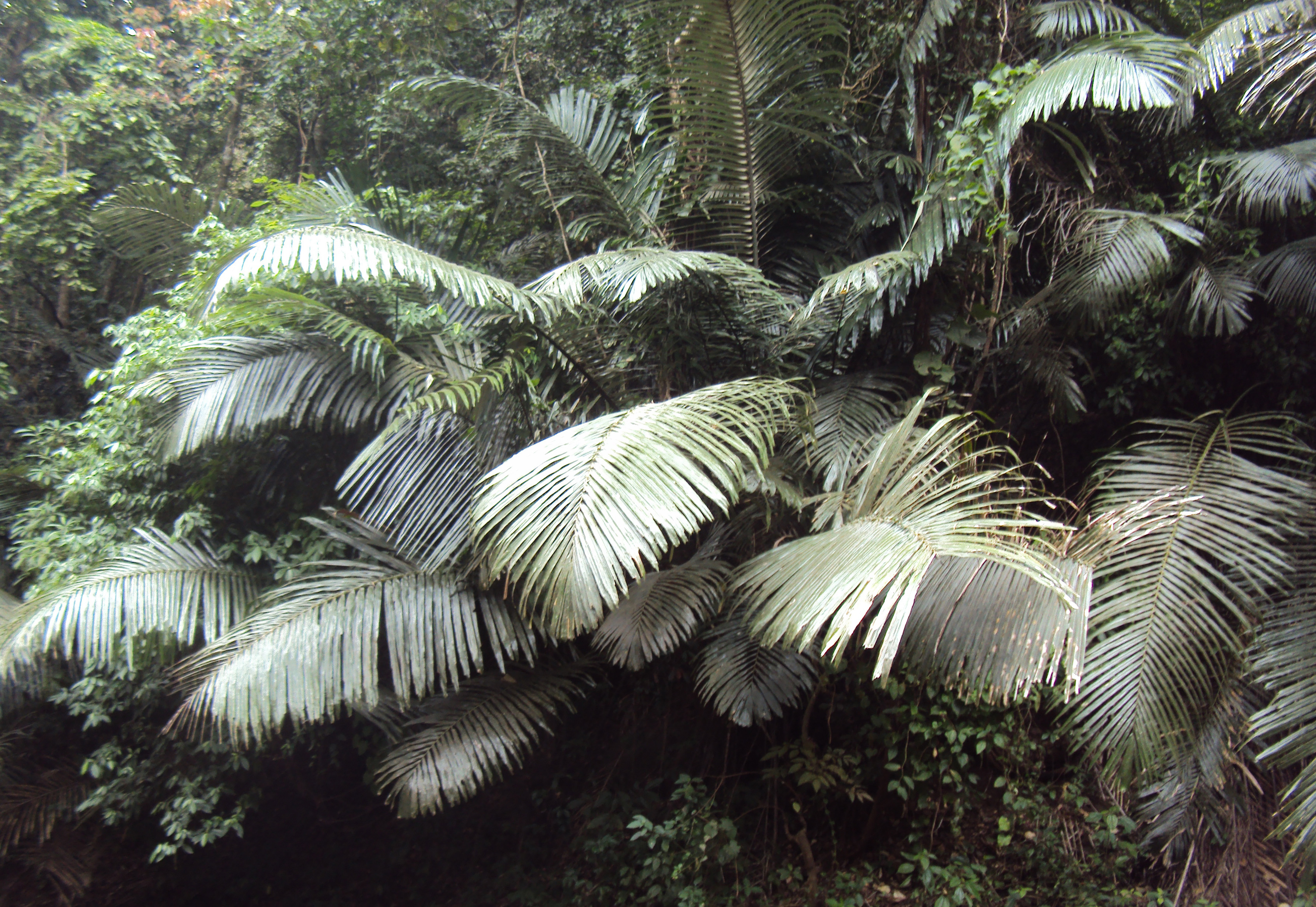 Image of Wight's sago palm