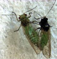 Image of <i>Acizzia solanicola</i> Kent & Taylor 2010