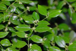 Sivun <i>Cassinopsis ilicifolia</i> (Hochst.) Kuntze kuva