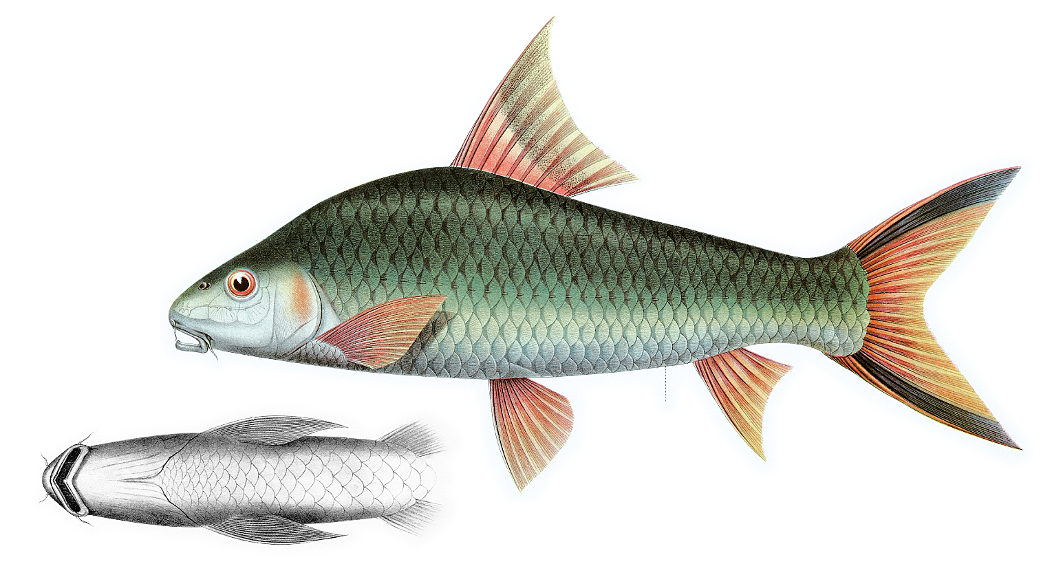 Image of Sucker Barb