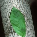 Image of Allegheny serviceberry