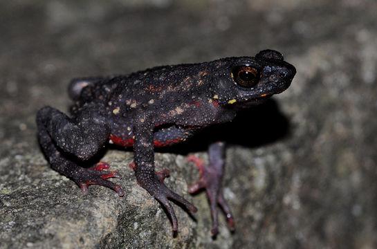 Image of Black Torrent Toad