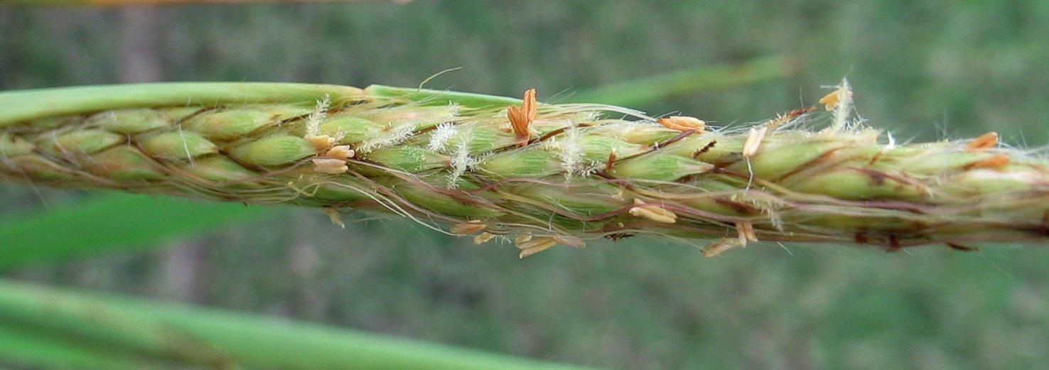 Image of Hilo murainagrass