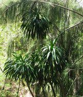Image of Pleomele