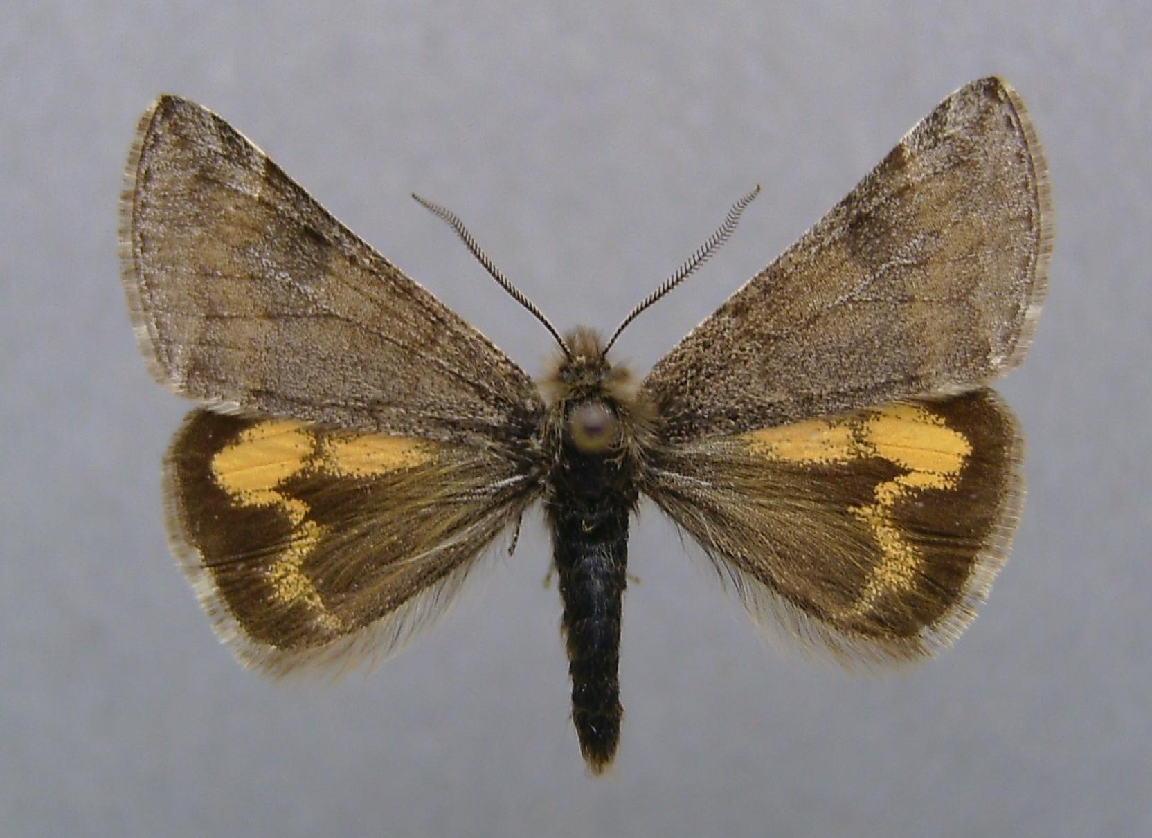 Image of <i>Boudinotiana puella</i>