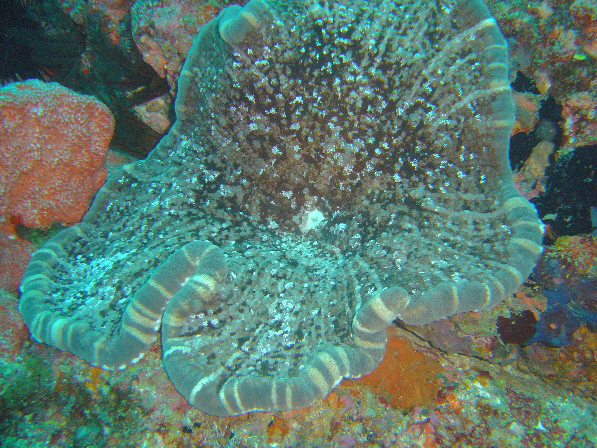 Image of Adhesive anemone