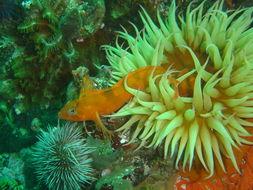 Image of Speckled Klipfish