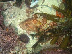 Image of Robust Klipfish