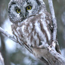 Image of Boreal owl
