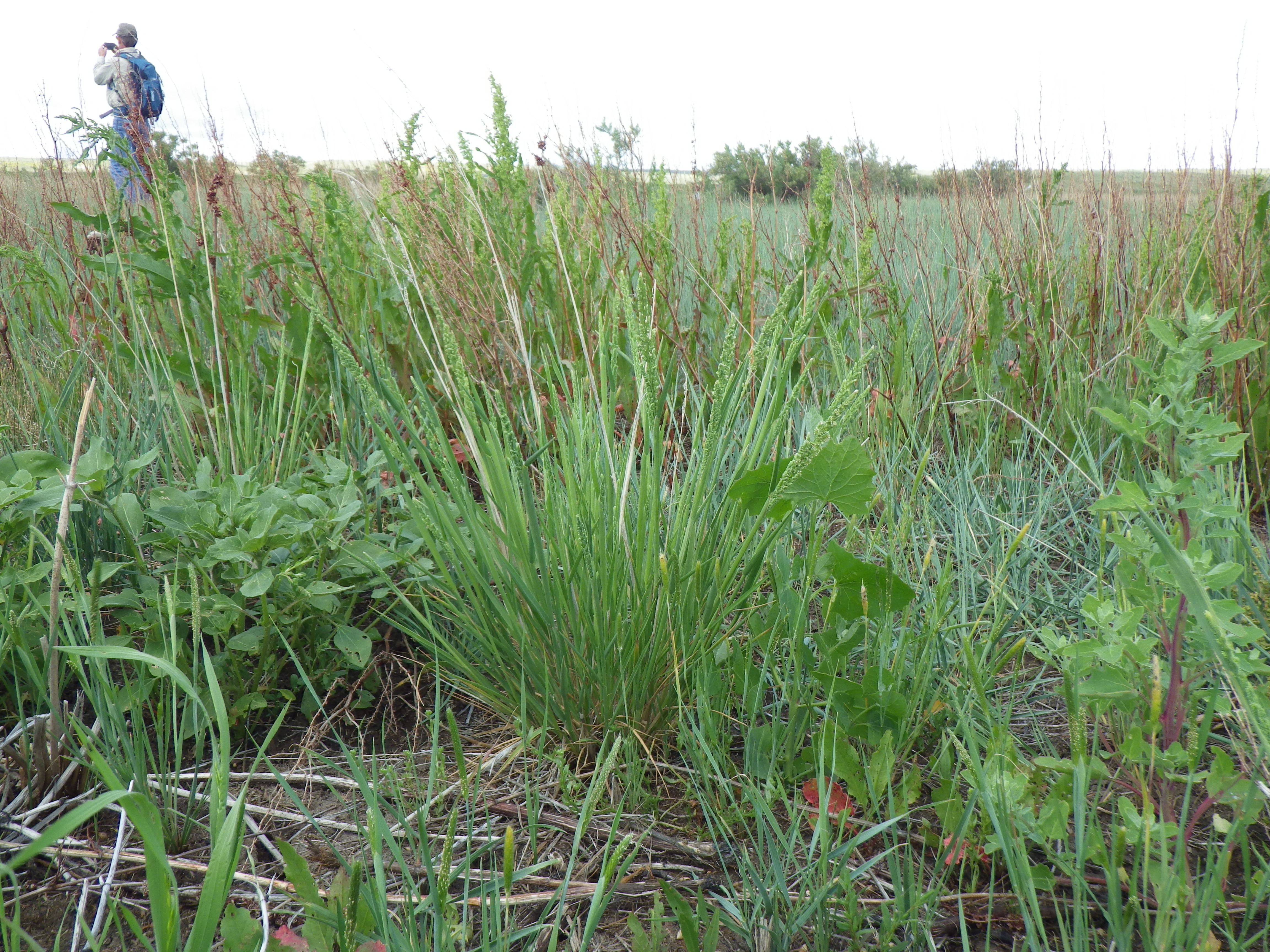 Image of American sloughgrass