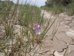 Image of American vetch