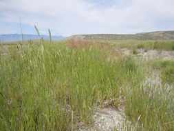 Image of smooth brome