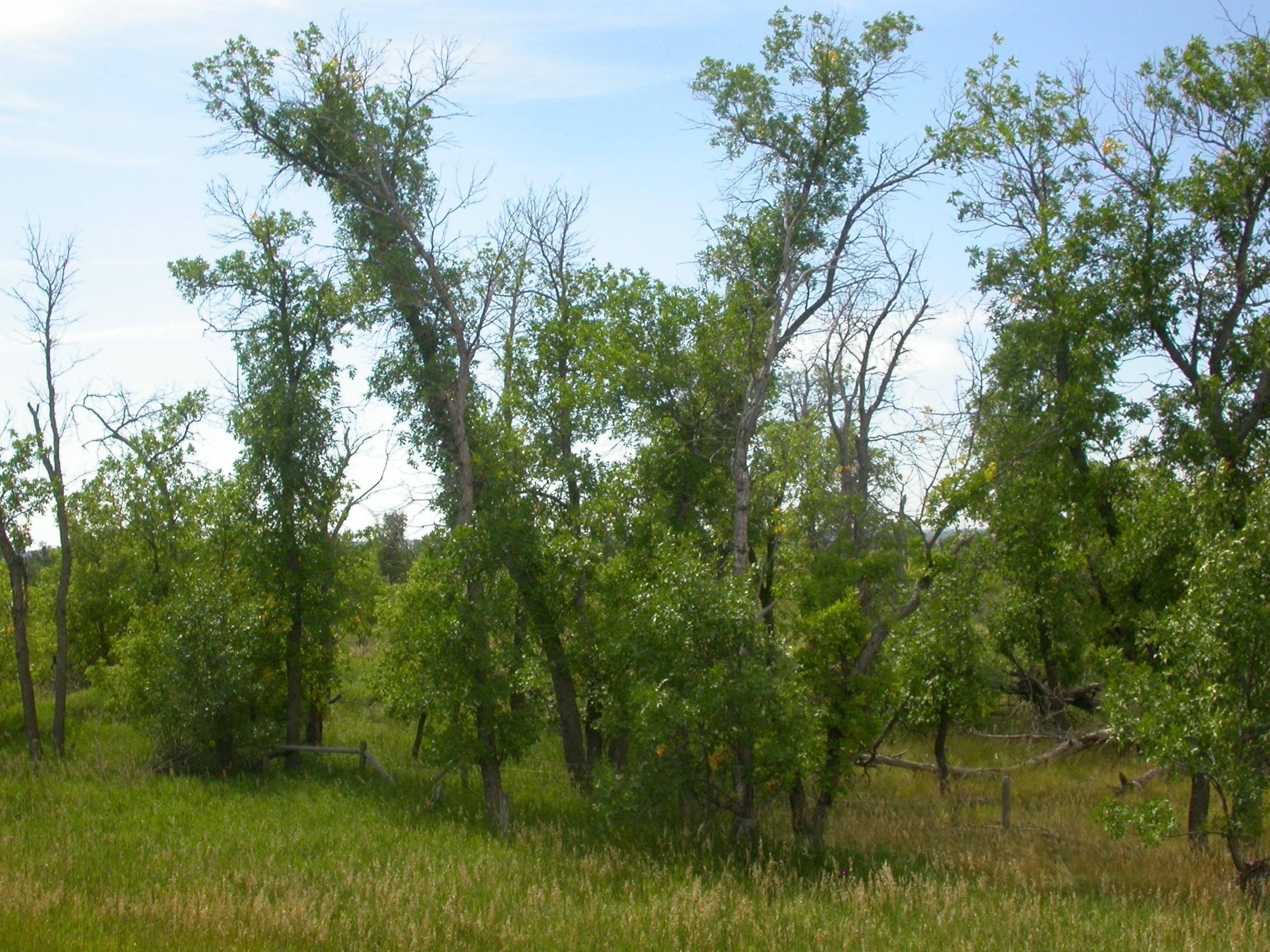 Image of green ash