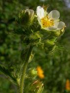 Image of <i>Drymocallis glandulosa</i>