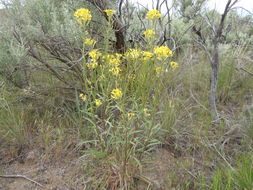 Image of sanddune wallflower